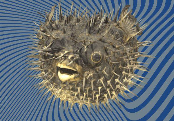 Puffer fish 3D scan